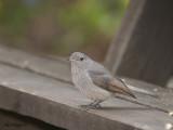 Grey Shrike-thrush - juvenile 4
