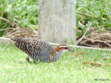 Buff-banded Rail 2