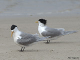 Crested Tern 2