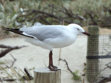 Silver Gull 3