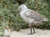 Silver Gull - chick