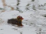 Eurasian Coot - chick
