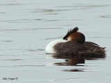 Great-crested Grebe 2