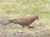 Laughing Turtle Dove 2