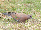 Laughing Turtle Dove 3