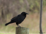 Australian Raven 2