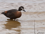 Australian Shelduck - female
