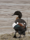 Australian Shelduck -  male 2