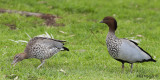 Australian Wood Duck - pair