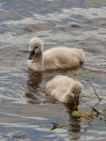 Black Swan - chicks
