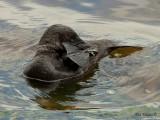 Musk Duck - male 3