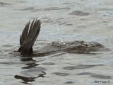 Musk Duck - diving!