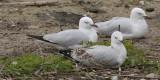 Silver Gull - resting