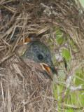 Ruby-cheeked Sunbird - chick -- 2009