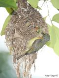 Ruby-cheeked Sunbird - female feeding  -- 2009
