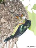 Ruby-cheeked Sunbird - male feeding - 2009