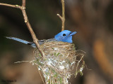 Black-naped Monarch - nesting - female
