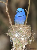 Black-naped Monarch - nesting - male 2