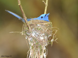 Black-naped Monarch - nesting - male 3