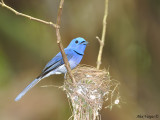 Black-naped Monarch - nesting - male