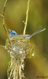 Black-naped Monarch - nesting - female 2