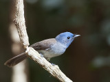 Black-naped Monarch - female - 2009
