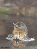 Chinese Blue Flycatcher - female - 2009