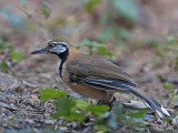 Greater-neclaced Laughinthrush