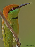Green Bee-eater - portrait - 2009
