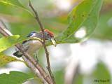 Scarlet-backed Flowerpecker 2