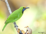 Golden-fronted Leafbird - male - 2009