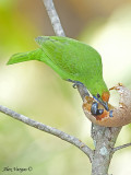Golden-fronted Leafbird - male - 2009 - 2