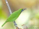 Golden-fronted Leafbird - male - 2009 - 3