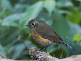 Red-flanked Bluetail - female 2 - 2009