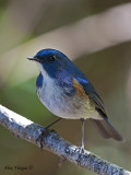 Red-flanked Bluetail - male 2 - 2009
