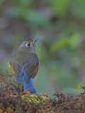 Red-flanked Bluetail - female - back view - 2009