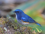 Red-flanked Bluetail - male 3 - 2009