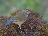 Red-flanked Bluetail - female 3 - 2009