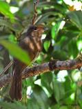 Large Niltava - female - 2009 - 2