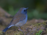 Rufous-gorgeted Flycatcher - male - 2009 - profile