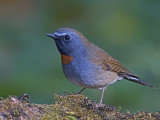 Rufous-gorgeted Flycatcher - male - 2009