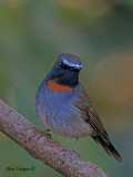 Rufous-gorgeted Flycatcher - male - 2009 - 3