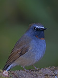 Rufous-gorgeted Flycatcher - male - 2009 - 4