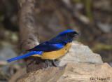 Rufous-bellied Niltava -- male - 2009 - 2