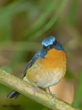 Hill Blue Flycatcher - 2010 - 3