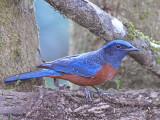 Chestnut-bellied Rock Thrush - male