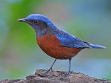 Chestnut-bellied Rock Thrush - male 2
