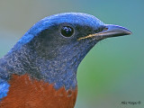 Chestnut-bellied Rock Thrush - male portrait