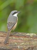 Grey-backed Shrike 4
