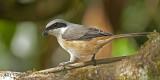 Grey-backed Shrike 3